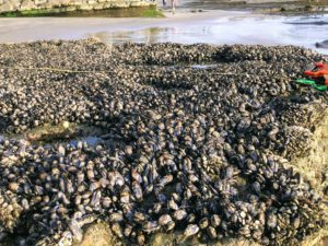 California Mussels Swamis San Diego Tide Pools
