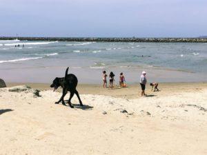 Dog Beach Ocean Beach Black Lab on sand