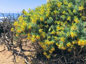 Bladderpod plant san diego beach pictures
