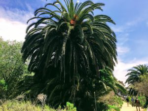 Canary Island Date Palm Batiquitos Lagoon trail