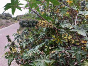 Castor Bean Plant san diego beach pictures