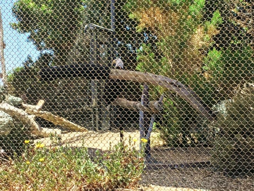 Bald Eagle Living Coast Discovery Center