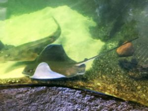 Bat Ray Shovelnose Guitarfish display tank