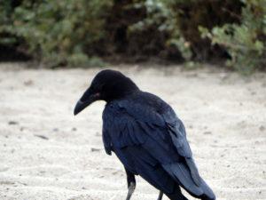 Beach Raven San Diego Beach Pictures