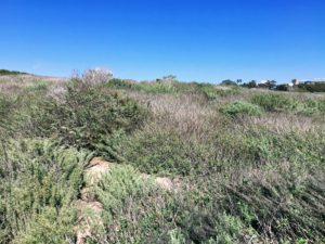 California Sagebush Scripps Coastal reserve biodiversity trail