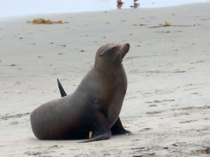 California sea lion san diego beach pictures