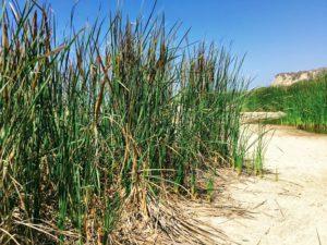Cattails san mateo lagoon san onofre state beach