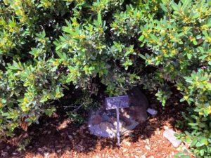 dwarf coffeeberry agua hedionda lagoon native garden