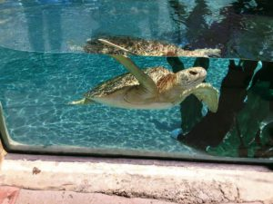 Green Turtle swimming shallow tank