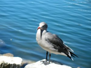 Heermans gull san diego beach pictures