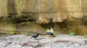 ravens sandy beach bluff water dripping down