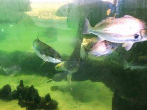 San Diego Bay Fish Living Coast Discovery Center