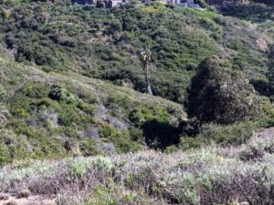 Scripps Coastal Reserve Canyon native plants lone Palm tree