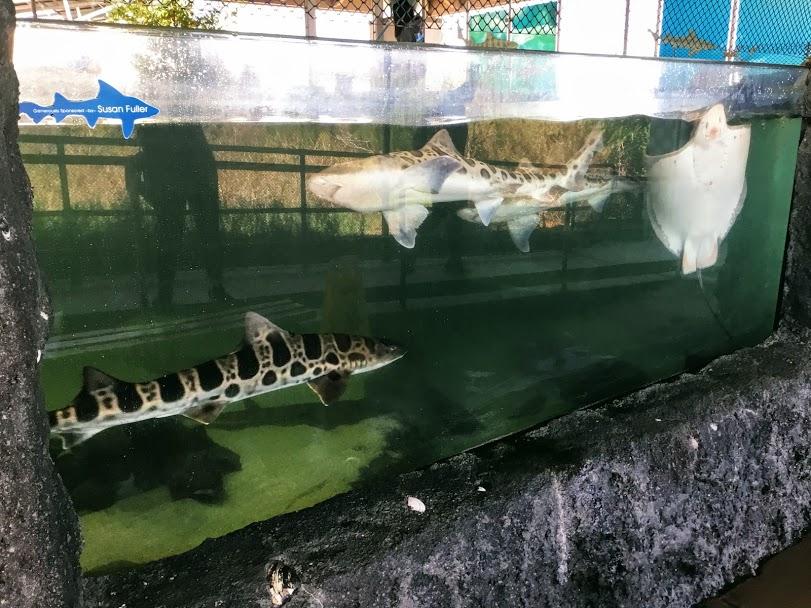 Shark and Ray tank leopard shark bat ray