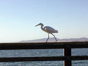 Snowy Egret walking Oceanside Pier