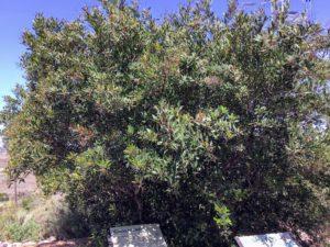 Toyon tree agua hedionda lagoon native garden
