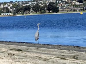 Great blue heron Mission Bay San Diego