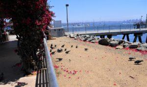 Shelter Island Pier san diego birding