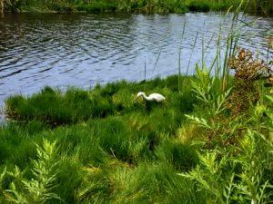 Snowy egret san diego beach pictures