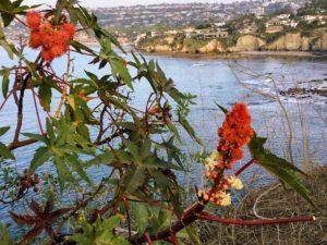 Castor bean plant la jolla coast walk
