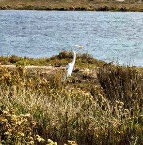 Great Egret Coast to Crest Trail Del Mar