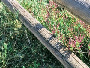 pickleweed and salt grass