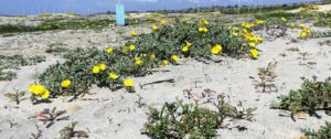 Beach Evening Primrose Carlsbad San Diego