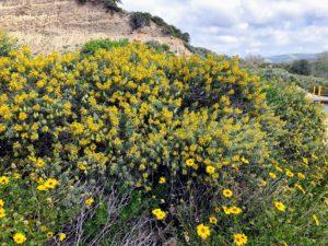 Bladderpod Flower Trestles San Onofre State Beach