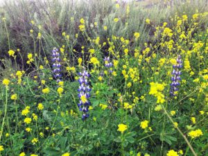 collard lupine San Onofre California super bloom