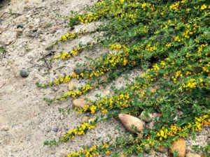Deerweed on beach lowers trestles beach