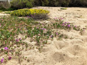 beach sand verbena california super bloom beach