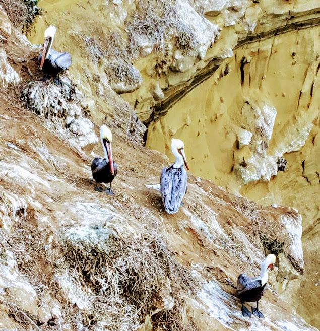 California brown pelicans la jolla san diego birding
