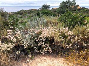 Torrey Pines State Beach california buckwheat