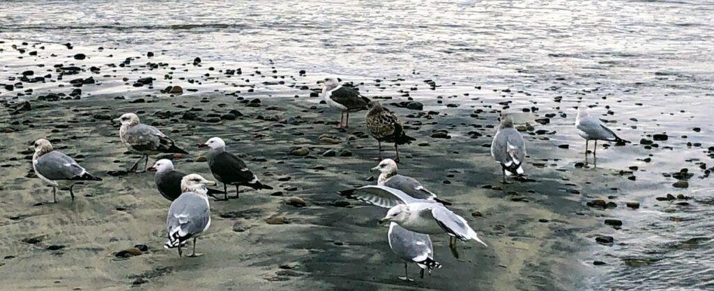 oceanside birding san diego beach 2019