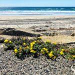 beach evening primrose cardiff state beach