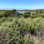 Black Sage San Elijo Lagoon san diego native plants