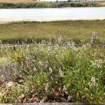 black sage east bayshore drive trail agua hedionda lagoon
