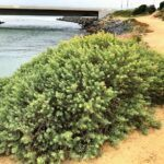 Bladderpod native plant agua hedionda lagoon