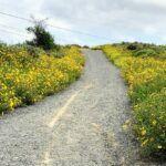 bush sunflower panhe nature trail trestles beach