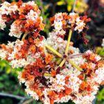 California Buckwheat 2019 year in review