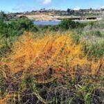 California dodder san diego native plants