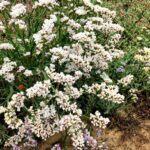 california everlasting san diego native plants