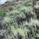California Sagebrush Kelly School Trail Agua Hedionda Lagoon