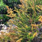 Chamise san diego native plants