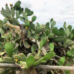 Coast Prickly Pear Torrey Pines State Natural Reserve
