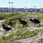 Coots Mission Bay walking line sand