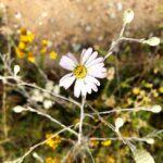 Del Mar San Aster flower san diego native plants