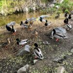 Mallards Loma Alta Creek South Oceanside
