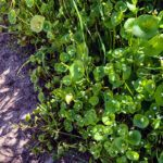 Miners lettuce san diego native plants