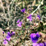 Nuttalls snapdragon san diego native plants